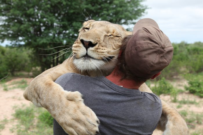 "EXCLUSIVE: The heartwarming story was one of the biggest viral hits of 2014 - a lioness jumps onto a man and embraces him, in what can only be seen as a gesture of love. Approaching 10 million views on You Tube the ""grateful hug"" between a 140kg lioness and the man who saved her life was named on Google's inspirational list for 2014. The fascinating tale has now been made into a documentary series with an incredible twist - the man must teach the lioness to hunt. This six-part film tells the story of the abandoned and dying lion cub who forms a powerful bond of friendship and trust with a young German man - Val Gruener. The cub was left destitute by its captive pride on land owned by Willie De Graaff, of the Grasslands farm in the Kalahari of Botswana.Val, of the Modisa Wildlife Project, was given permission to try and save the cub's life. The pair became inseparable and now, three years later, every time Val opens the gate to her enclosure, he is hugged by the lioness that he named Si. (via Splash News)"