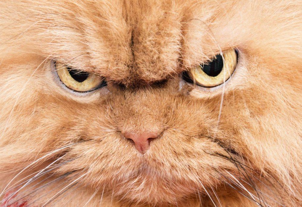 Angry Cat AKA Garfi, Istanbul, Turkey - 02 Mar 2015
